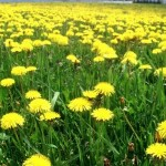 dandelions in a field brookside lawn service