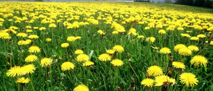 A field of blooming dandelions creates a sea of yellow in a pasture in Barre, Vt., Friday, May 8, 1998. (AP Photo/Toby Talbot)